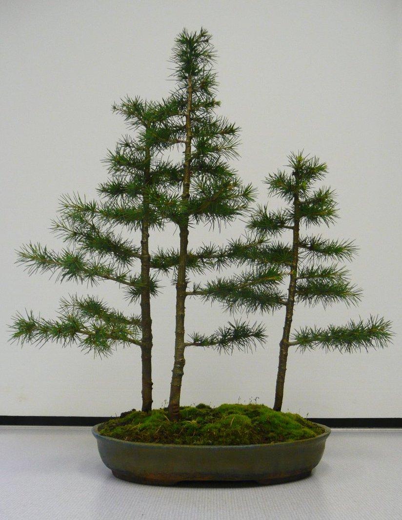 bonsai cedar of lebanon history in a pot things i want to bonsai cedar of lebanon history in a pot